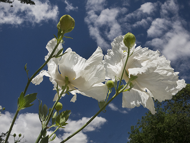 Blog post May 20 white poppies