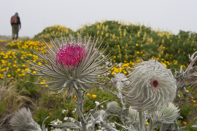 Blog post Tomales thistles