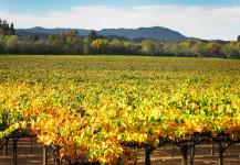 Vineyard Colors