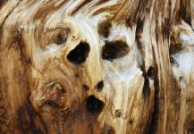 Ancient Bristlecone Face